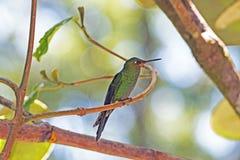 Niewyrobionej zieleni Koronowany Genialny Hummingbird fotografia royalty free