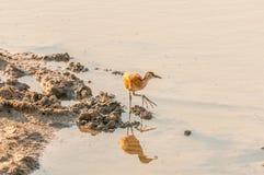 Niewyrobiony Afrykański jacana przy waterhole w Północnym Namibia Obrazy Stock