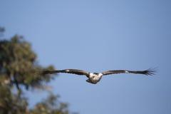 Niewyrobiony afrykanin Eagle (Hakiaeetus vocifer) Obraz Stock