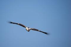 Niewyrobiony afrykanin Eagle & x28; Hakiaeetus vocifer& x29; Fotografia Royalty Free