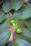 Niewyrobiony cattley guava w drzewie Zdjęcia Stock