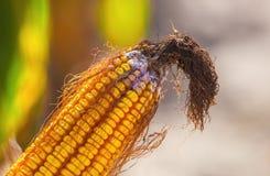 Niewyrobiony, chory i pleśniowy kukurydzany cob na polu, zakończenie Obraz Stock