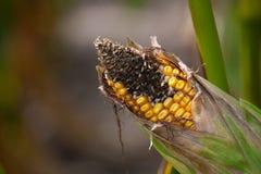 Niewyrobiony, chory i pleśniowy kukurydzany cob na polu, Obrazy Royalty Free
