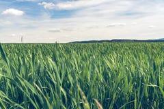 Niewyrobiony kukurydzy pole Zdjęcie Royalty Free
