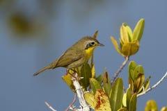 Niewyrobiony Męski Pospolity Yellowthroat - Merritt wyspa, Floryda obraz royalty free