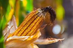 Niewyrobiony, wizened, chory i pleśniowy kukurydzany cob na polu, Fotografia Royalty Free