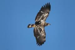 Niewyrobiony Łysy Eagle Zdjęcia Royalty Free