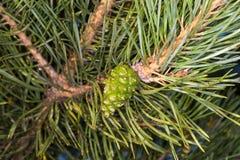Niewyrobiony zielony sosna rożek Młode igły sosna Zdjęcie Royalty Free