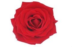 niezły ilustracyjny nadmiernie czerwoną różę white Obraz Royalty Free