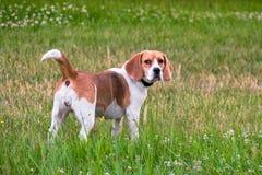 Niezależny dorosły Beagle pies na spacerze w miasto parku Beagle ogar jest Brytyjski, popularny po całym świat obraz stock