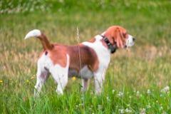 Niezależny dorosły Beagle pies na spacerze w miasto parku Beagle ogar jest Brytyjski, popularny po całym świat zdjęcia royalty free