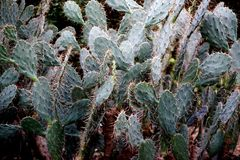 Niezależny kaktus Obraz Stock