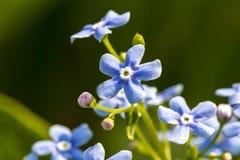 Niezapominajka kwitnie w wiośnie na zielonym naturalnym tle Romantyczny delikatny artystyczny wizerunek zdjęcie stock