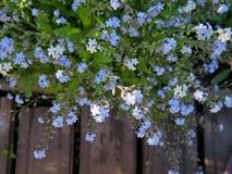 Niezapominajka - ogród i łąkowa roślina z małym błękitem kwitniemy przeciw drewnianym deskom Obrazy Stock
