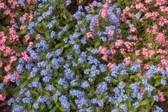 Niezapominajka różowi i błękitny kwiatu tło Zdjęcie Royalty Free