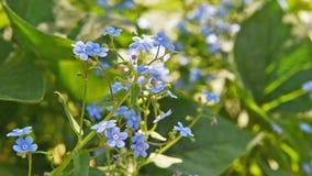 Niezapominajkowa zbliżenie klamerka piękne kwiaty E zbiory wideo