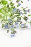 Niezapominajkowi kwiaty Obraz Royalty Free