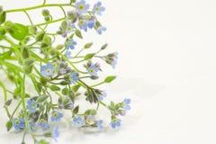 Niezapominajkowy kwiat Zdjęcia Stock