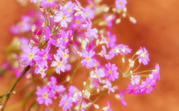 Niezapominajkowy kwiat Okwitnięcie kwiaty Fotografia Stock
