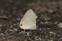 Niezapominajkowy motyl Obraz Royalty Free