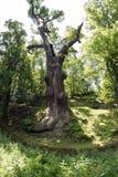 Niezapomniany Dębowy drzewo Obrazy Stock