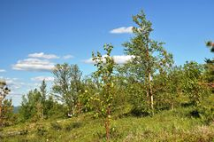 Niezasobna północna halna roślinność Zdjęcie Royalty Free
