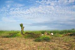 Niezidentyfikowany rolnika żniwa cyperus malaccensis Obrazy Stock