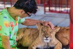 Niezidentyfikowany turysta lituje się młody lew przykuwający zdjęcie stock
