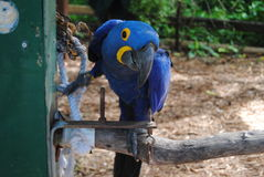Niezręczna papuga Obrazy Stock