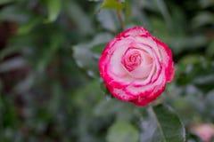 Niezwykła rozmaitość różnobarwna czerwieni i bielu róża kwitnie z blisko upakowanymi płatkami Rzadka rozmaitość paskująca różowy  Fotografia Stock
