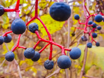 Niezwykły błękitny jagody zrozumienie na linii Obraz Royalty Free
