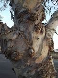 niezwykły drzewny bagażnik zdjęcie royalty free