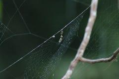 Niezwykły pająka jajko Fotografia Stock