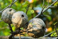 Niezwykły, wielki i prostacki drzewa ziarno, wiesza w Tajlandzkim parka ogródzie zdjęcie royalty free
