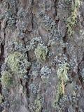Niezwykły wzór przerastający z mech sosny barkentyna obrazy royalty free