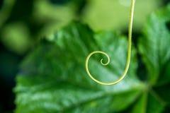 Niezwykle zakończenie up rośliny spirala - selekcyjna ostrość obrazy royalty free