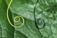 Niezwykle zakończenie up rośliny spirala - selekcyjna ostrość obraz stock