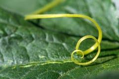 Niezwykle zakończenie up rośliny spirala - selekcyjna ostrość fotografia royalty free
