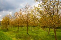 Niezwykli drzewa w bagnie Obrazy Royalty Free