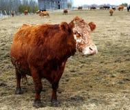 Niezwykli twarzy krowy zwierzęta gospodarskie Zdjęcia Royalty Free