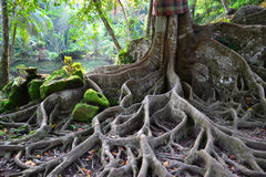 Niezwykły drzewo z wielkimi korzeniami Fotografia Royalty Free