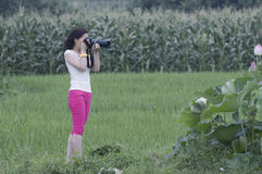 Female photographer in working. Beauatiful Lotus flowers with each colours blooming everywhere and a nifty female photographer working in rice fields royalty free stock images