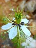 Nigela sativa makro- kwiat w okwitnięcia tle i tapety w odgórnych wysokiej jakości drukach obraz royalty free