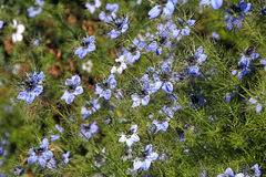 Nigella植物 图库摄影