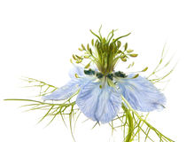 Nigella Royalty Free Stock Photography