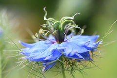 Nigella. /love-in-the-mist,blooming in a summer garden Royalty Free Stock Images