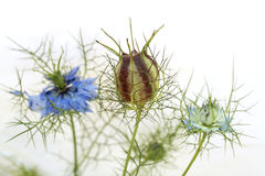 Nigella Photo stock