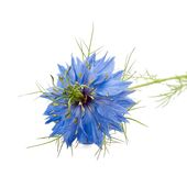 Nigella Stock Photo