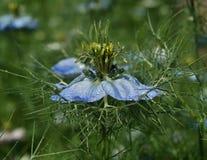 Nigella azul Damascena Imágenes de archivo libres de regalías