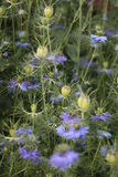 Nigella bleu Damascena Photo stock